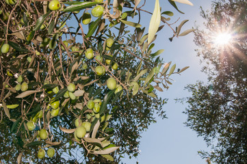 Close-up view of some olives in a tree while the sun shines through some branches