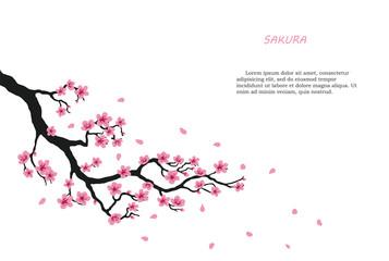 Flowering branch of sakura on a white background