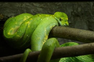 Зеленый змей