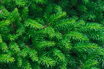 evergreen fir trees
