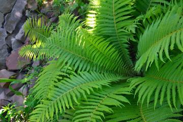 sheet of the fern