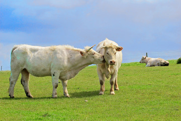Cows graze on a green meadow. One cow licks another.