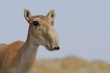Portrait of Wild Saiga antelope in Kalmykia steppe