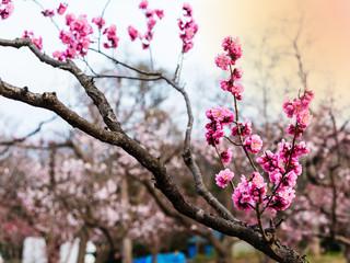 pink sakura or cherry blossom, Sapporo