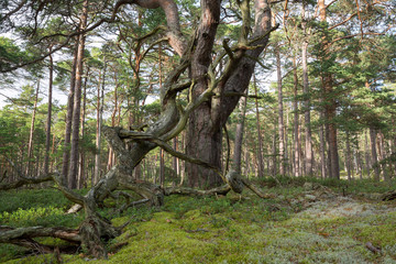 Old pine tree in primeval forest