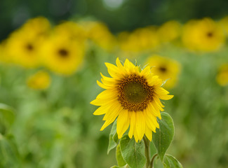 Sunflower with green nature background
