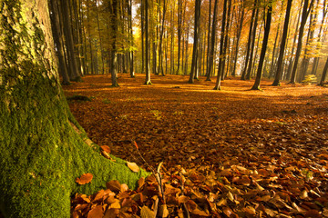 Autumn Forest./ Pomerania, Poland