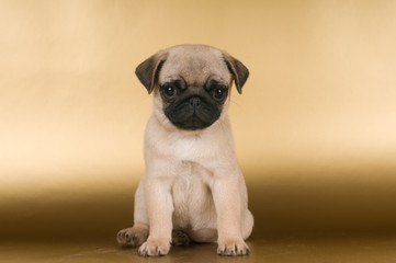 Pug puppy on golden background