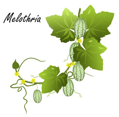 Melothria (cucamelon, mouse melon, Mexican sour gherkin, Mexican sour cucumber). Hand drawn vector illustration of melothria vine with flowers, leaves and fruits on white background.