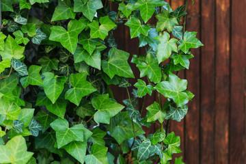 Ivy leaves on wood Wall mural