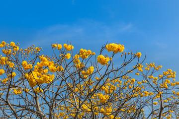 Yellow cotton tree ,silk cotton, butter cup, torchwood ( cochlospermum religiosum alston )on  blue sky background.