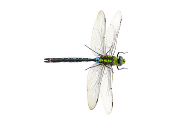 Dragonfly Anax imperator Blue Emperor