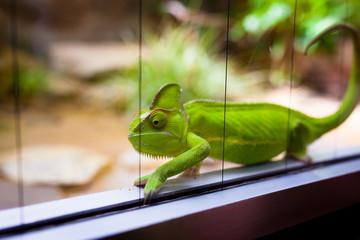 Chameleon in glass terrarium