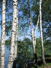 Birch in summer day
