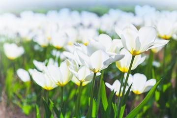 White tulip flowers in spring garden