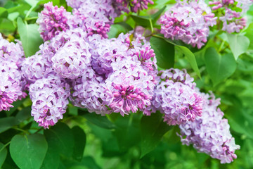 Fototapete - Bright lilac flowers, closeup photo