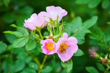 Wall Mural - Rosa rubiginosa. Pink wild rose flowers