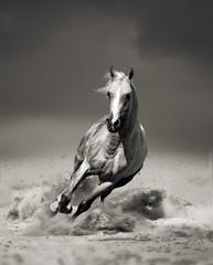 arab horse running in desert
