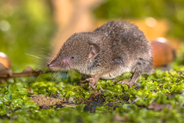 Crocidura Shrew walking on forest floor