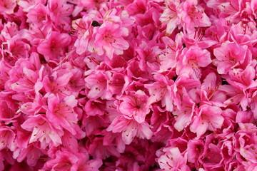 Printed roller blinds Azalea vibrant pink azalea bush in full bloom