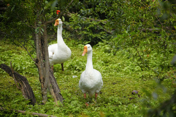 White geese in greens