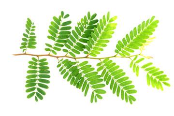tamarind leaf isolated on white background
