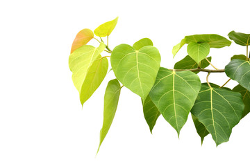 Bodhi or Peepal Leaf from the Bodhi tree, Sacred Tree for Hindus and Buddhist.On white background