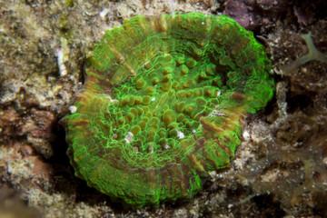 Unterwasser - Riff - Koralle - Scheibenkoralle - Tauchen - Curacao - Karibik