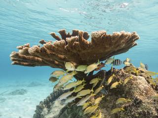 Unterwasser - Riff - Fisch - Koralle - Elchgeweihkoralle - Tauchen - Curacao - Karibik