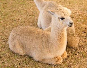 alpaca rest in the farm