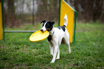 Fox terrier with frisbee