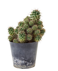Cactus in plastic pot,isolated on white background and clipping path