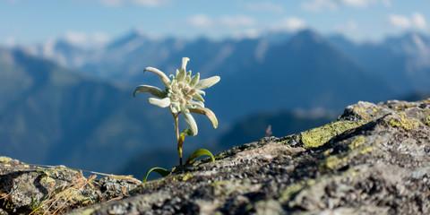 Panorama eines Edelweiss auf Fels in den Alpen