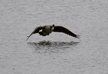 Beautiful photo of the flying Canada goose