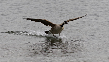 Beautiful isolated photo of the landing Canada goose
