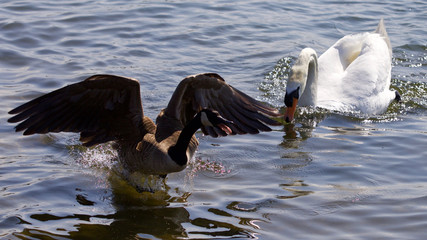 Beautiful isolated photo of the Canada goose running away from the angry mute swan