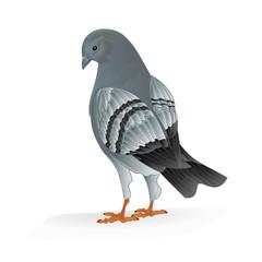 Bird Carrier pigeon domestic sports bird vector illustration