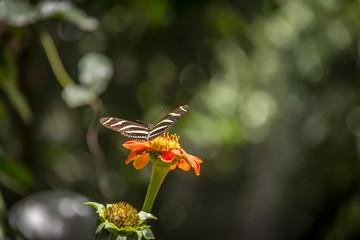 Pair of zebra longwings butterflies on a orange flower