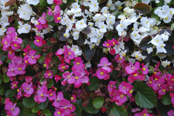 Pink and white Wax begonia flowers on the flowerbed. Decorative plants for gardening.