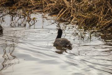 polla de agua en el estanque