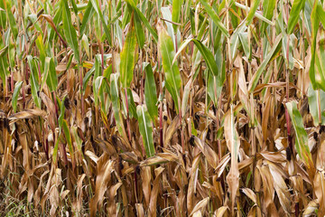 field with mature corn