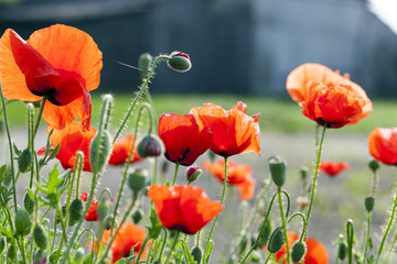 blooming red poppies