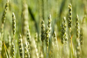 unripe ears of wheat