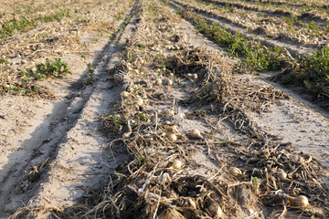 Harvesting onion field