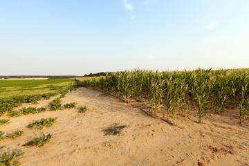 green corn in the field