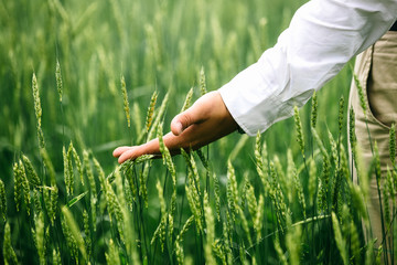 The hands of a farmer in a white shirt, touching ripening wheat