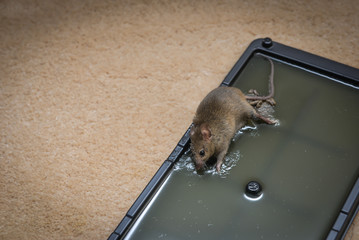 Mouse Trap Glue