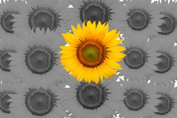 sunflowers  on black ground