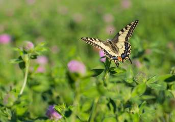 A butterfly sits on a clover blossom