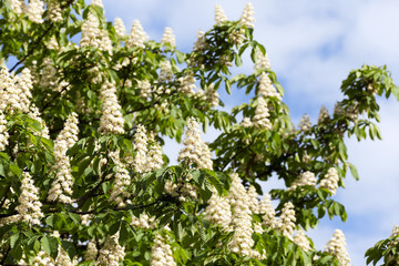 blooming chestnut tree in the spring